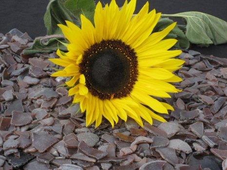 Sunflower and glass